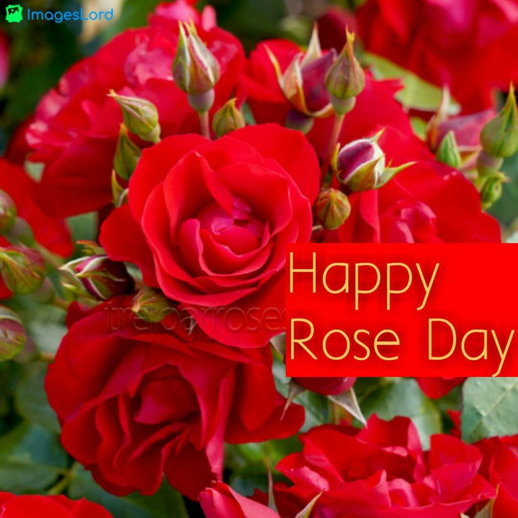 happy rose day images 2020